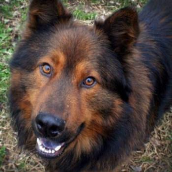 Chow Chow German Shepherd Mix Puppy