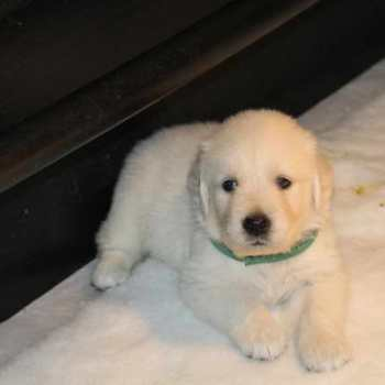 Chubby Golden Retriever Puppies