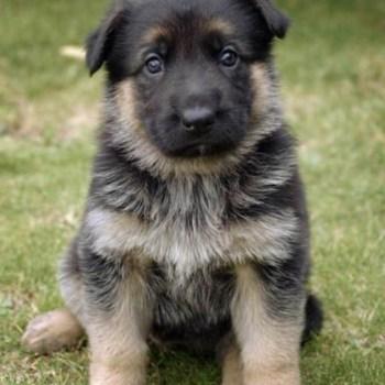 Chubby Puppies German Shepherd