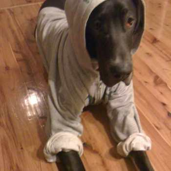 Clothes For Great Dane