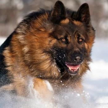 Coated German Shepherd