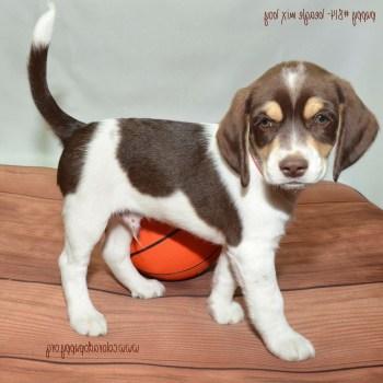 Colorado Beagle Puppies