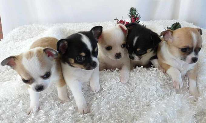 Colorado Chihuahua Breeders