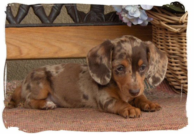 Colorado Dachshund Rescue