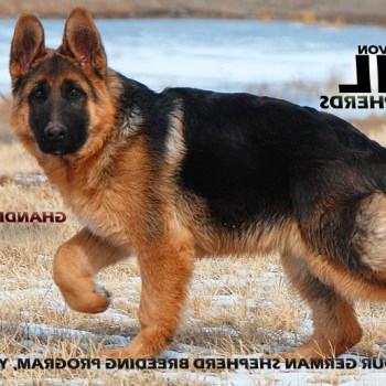 Colorado German Shepherd Breeders