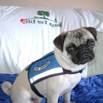Can A Pug Be A Service Dog
