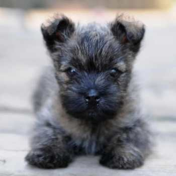 Carin Terrier Puppies