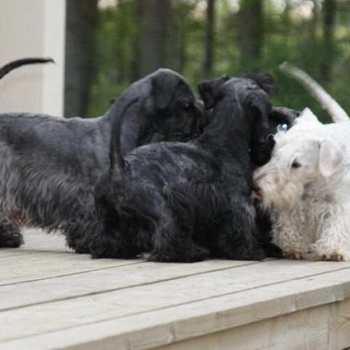 Cesky Terrier Rescue