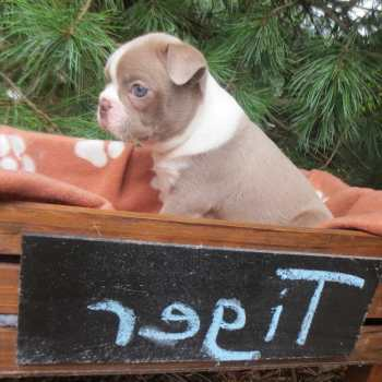 Champagne Boston Terrier Puppies For Sale