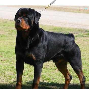 Champion Bloodline German Rottweiler