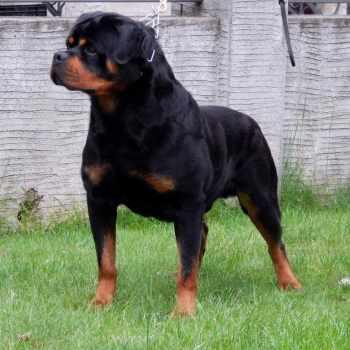 Champion Bloodline Rottweiler