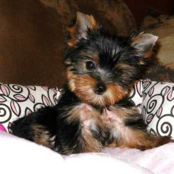 Cheap Yorkshire Terrier Puppies For Sale