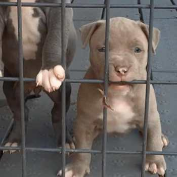 Chicago Pit Bull Rescues