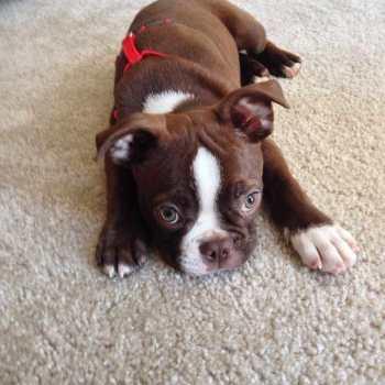 Chocolate Boston Terrier