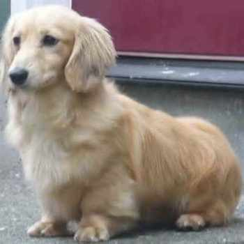 Corgi Golden Retriever Mix Puppies For Sale