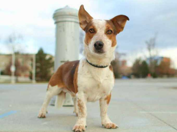 Corgi Jack Russell Mix Puppies For Sale