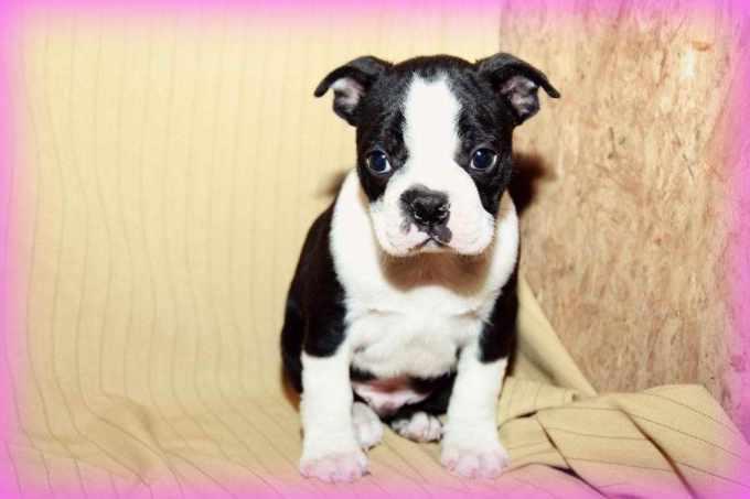 Craigslist Boston Terrier Puppies For Sale