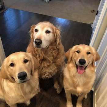 Crate Training Golden Retriever Puppy