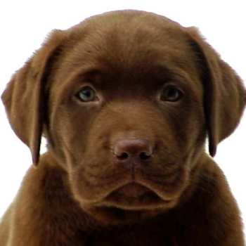 Ct Labrador Breeders