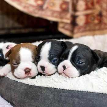 Cute Boston Terrier Puppies