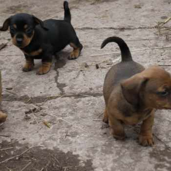 Dachshund Jack Russell Mix Puppies For Sale
