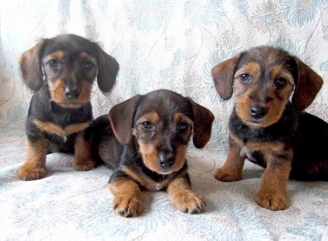 Dachshund Jack Russell Mix Puppies