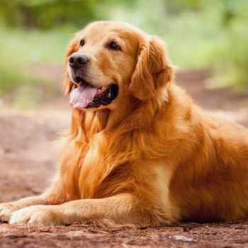 Dog Breeds Golden Retriever