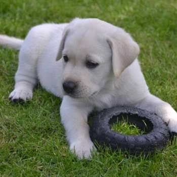 Dog Labrador For Sale