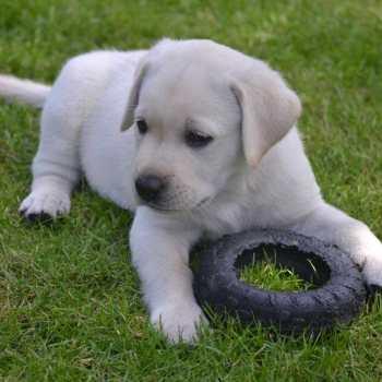 Dogs For Sale Labrador