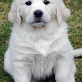 English Cream Golden Retriever For Sale