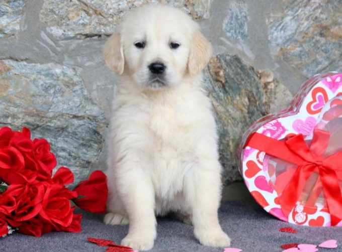 English Golden Retriever Puppies For Sale In Pa