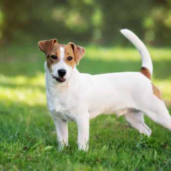 Facts About Jack Russell Terriers