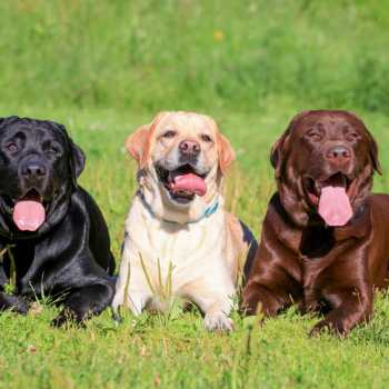 Facts About Labrador Retrievers