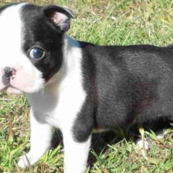 Female Boston Terrier For Sale
