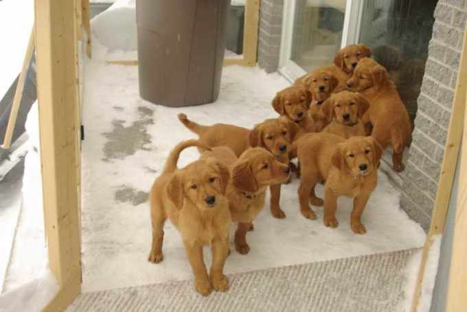 Field Golden Retriever Puppies For Sale