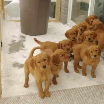 Field Golden Retriever Puppies
