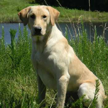 Field Labrador Retriever Breeders