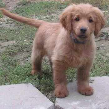 Forever Golden Retriever Puppy
