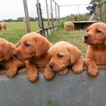 Fox Red Labrador Puppies For Sale In Pa