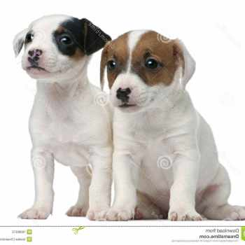 Free Jack Russell Terrier Puppies