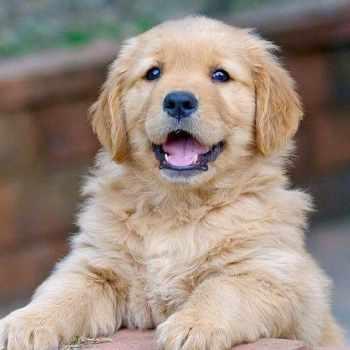 Full Breed Golden Retriever Puppies