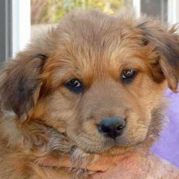 German Shepherd And Golden Retriever Mix Puppies For Sale