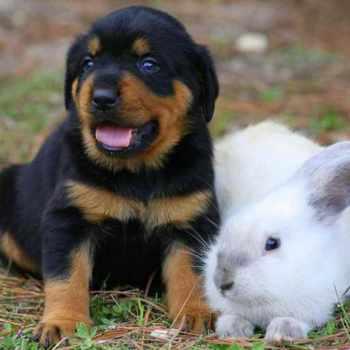 Colorado Rottweiler Puppies