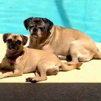 Compassionate Pug Rescue Of South Florida