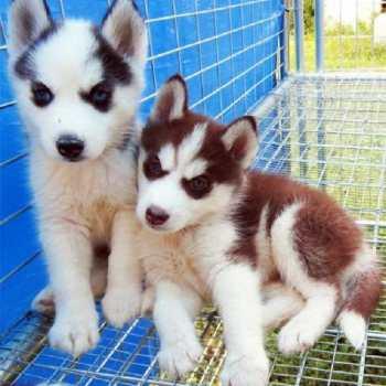 Copper Husky Puppies