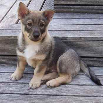 Corgi German Shepherd Mix Puppies For Sale