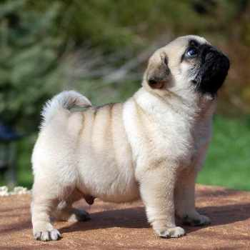 Cost Of A Pug Puppy