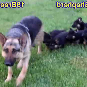 Craigslist German Shepherd Dogs