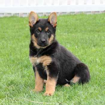 Craigslist German Shepherd Puppies For Sale