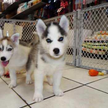 Craigslist Siberian Husky Puppies
